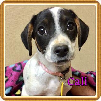 Beagle/Cocker Spaniel Mix Puppy for adoption in Glastonbury, Connecticut - Cali
