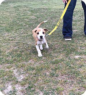 Labrador Retriever/Hound (Unknown Type) Mix Puppy for adoption in Hayes, Virginia - Greta