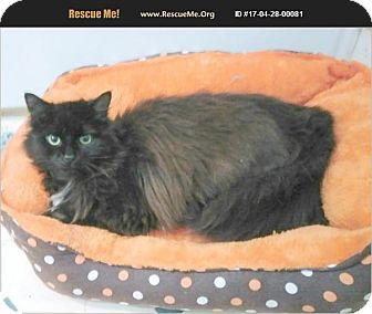 Maine Coon Cat for adoption in Madison, Tennessee - Zorro