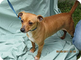 Chihuahua Mix Dog for adoption in Glastonbury, Connecticut - Honey Bear