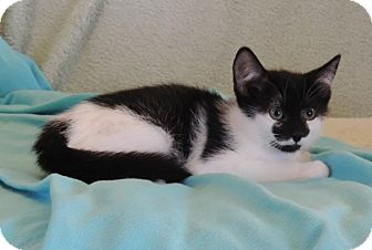Domestic Shorthair Kitten for adoption in Plano, Texas - LUNA-SWEET SUPERHERO GIRL
