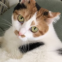 Domestic Shorthair Cat for adoption in Lafayette, Indiana - Dinky