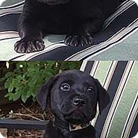 Adopt A Pet :: Ebonies Pepper - Chantilly, VA