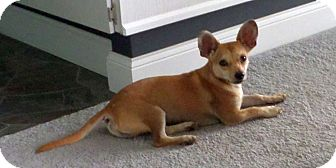 Chihuahua/Mixed Breed (Small) Mix Dog for adoption in Chattanooga, Tennessee - Pedro