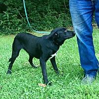 Adopt A Pet :: Darci is reduced! - Brattleboro, VT