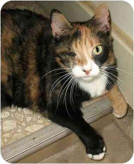 Domestic Shorthair Cat for adoption in Plainville, Massachusetts - Maizey