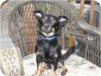 Miniature Pinscher Mix Dog for adoption in Salem, Oregon - Micky