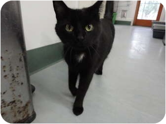 Domestic Shorthair Cat for adoption in Kingston, Washington - Bowie