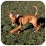 Photo 4 - Doberman Pinscher/American Pit Bull Terrier Mix Puppy for adoption in Phoenix, Oregon - Lizzy