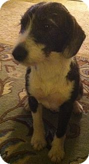 Terrier (Unknown Type, Small)/Jack Russell Terrier Mix Dog for adoption in Raleigh, North Carolina - Janey