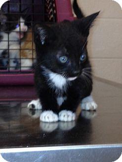 American Shorthair Kitten for adoption in Spring Valley, New York - Leo