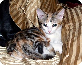Calico Kitten for adoption in Van Nuys, California - Sage