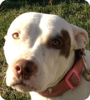 American Pit Bull Terrier Dog for adoption in Dayton, Ohio - Bella CP