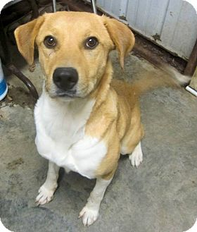 Labrador Retriever/Collie Mix Dog for adoption in Westport, Connecticut - *Lady IN CT - PENDING
