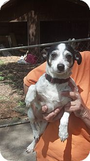 Rat Terrier Dog for adoption in Crump, Tennessee - Honey