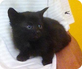 Domestic Shorthair Kitten for adoption in Troy, Michigan - Floki