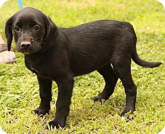 Labrador Retriever Mix Puppy for adoption in Rochester, New York - Felicia