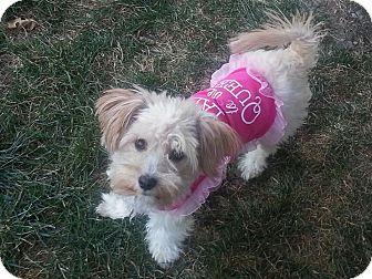 Maltese/Poodle (Miniature) Mix Dog for adoption in Bridgeton, Missouri - Iggy-Adoption pending