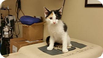 Domestic Shorthair Kitten for adoption in Stow, Maine - Izzy