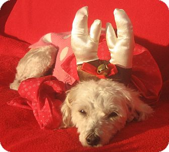 Poodle (Miniature) Mix Dog for adoption in Irvine, California - Vixen-WATCH MY VIDEO!!!
