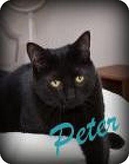Domestic Shorthair Cat for adoption in Salem, Ohio - Peter