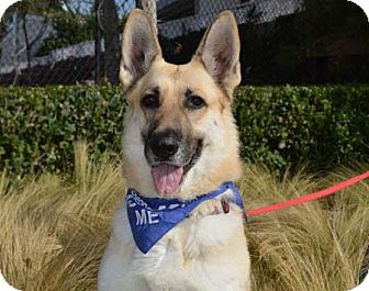 German Shepherd Dog Dog for adoption in Irvine, California - Jenny