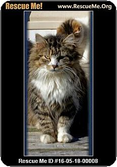 Maine Coon Cat for adoption in Waldorf, Maryland - Savannah