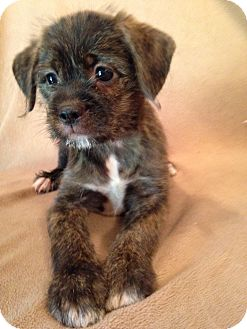 Pekingese/Terrier (Unknown Type, Medium) Mix Puppy for adoption in Kittery, Maine - Trixie