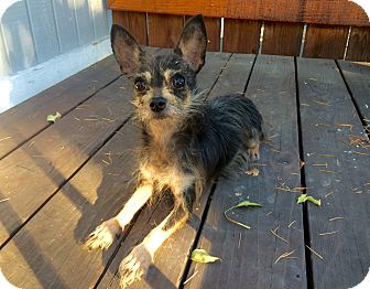 Wirehaired Fox Terrier/Chihuahua Mix Puppy for adoption in Walnut Creek, California - Bunny