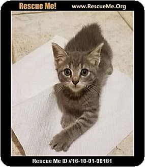 Domestic Shorthair Kitten for adoption in Waldorf, Maryland - Ella