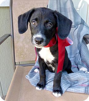 Labrador Retriever Mix Puppy for adoption in Baton Rouge, Louisiana - Cookie