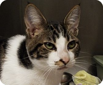 Domestic Shorthair Cat for adoption in Grants Pass, Oregon - Duke