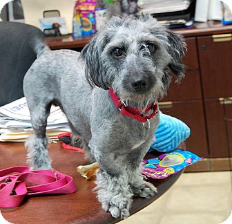 Terrier (Unknown Type, Small) Mix Dog for adoption in Wilmington, Delaware - Bronco
