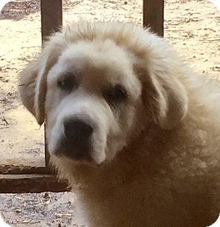 Great Pyrenees Mix Puppy for adoption in Hagerstown, Maryland - Boomer
