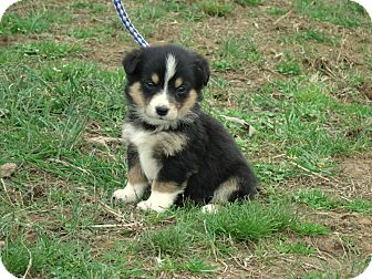 Collie Mix Puppy for adoption in Waterbury, Connecticut - Lexie/ADOPTED