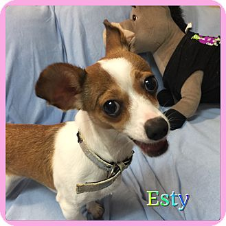 Chihuahua Mix Dog for adoption in Hollywood, Florida - Esty