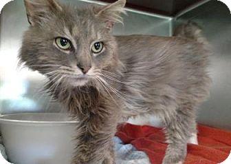 Domestic Mediumhair Cat for adoption in Ashtabula, Ohio - Yosi