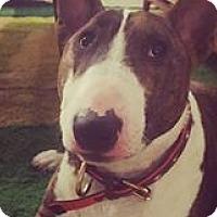Adopt A Pet :: Walter - New York, NY