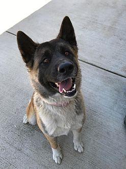 Akita Dog for adoption in Beverly Hills, California - Akita