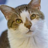Adopt A Pet :: Abraham - Grayslake, IL