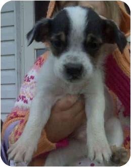 Shih Tzu/Boxer Mix Puppy for adoption in Proctorville, Ohio, Ohio - Petey