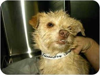 Chihuahua/Terrier (Unknown Type, Small) Mix Dog for adoption in Charleston, South Carolina - Janessa