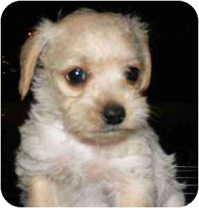 Chihuahua/Poodle (Toy or Tea Cup) Mix Puppy for adoption in ocala, Florida - Winston