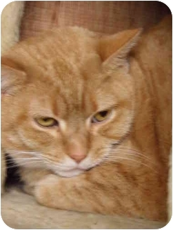Domestic Shorthair Cat for adoption in Dale City, Virginia - LeeLee