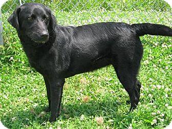 Labrador Retriever/Retriever (Unknown Type) Mix Dog for adoption in Elgin, Illinois - SARAH JEAN
