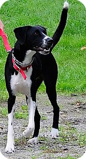 Pointer/Hound (Unknown Type) Mix Dog for adoption in Berea, Ohio - Bruno