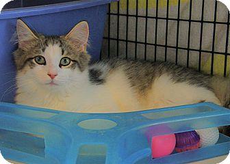 Domestic Mediumhair Kitten for adoption in Victor, New York - Hogan