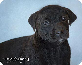 Labrador Retriever/Shar Pei Mix Puppy for adoption in Phoenix, Arizona - Carina