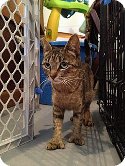Domestic Shorthair Cat for adoption in Speonk, New York - Liana