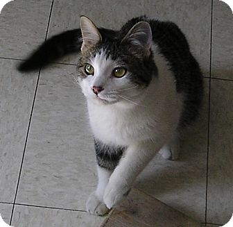 Domestic Shorthair Cat for adoption in Glenwood, Minnesota - Bandit